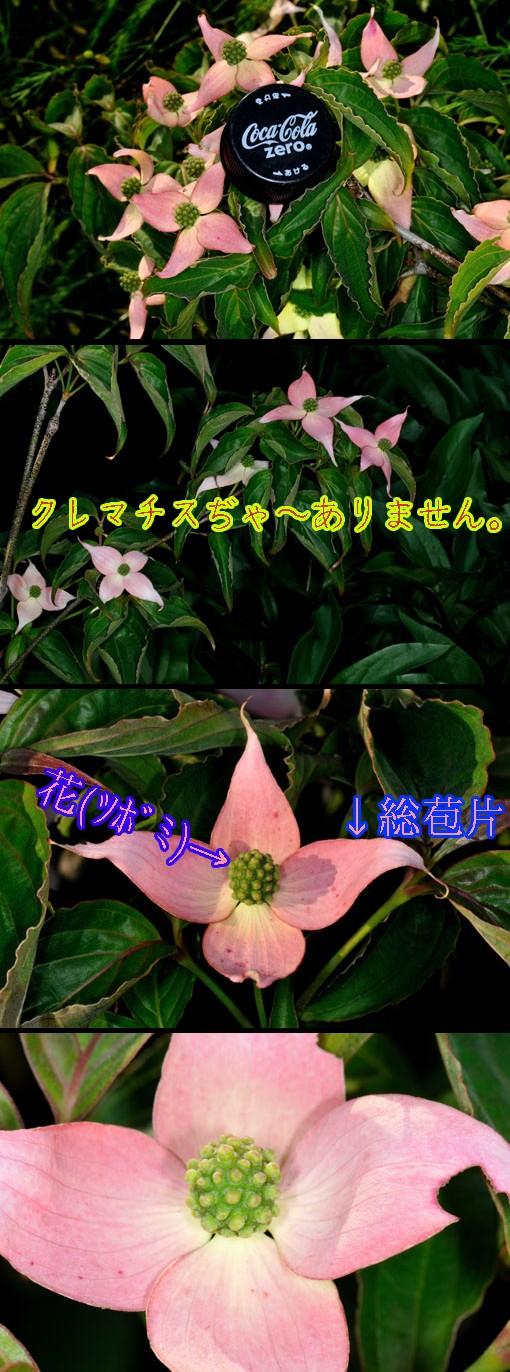 花弁に見えるんは総苞(片)です。