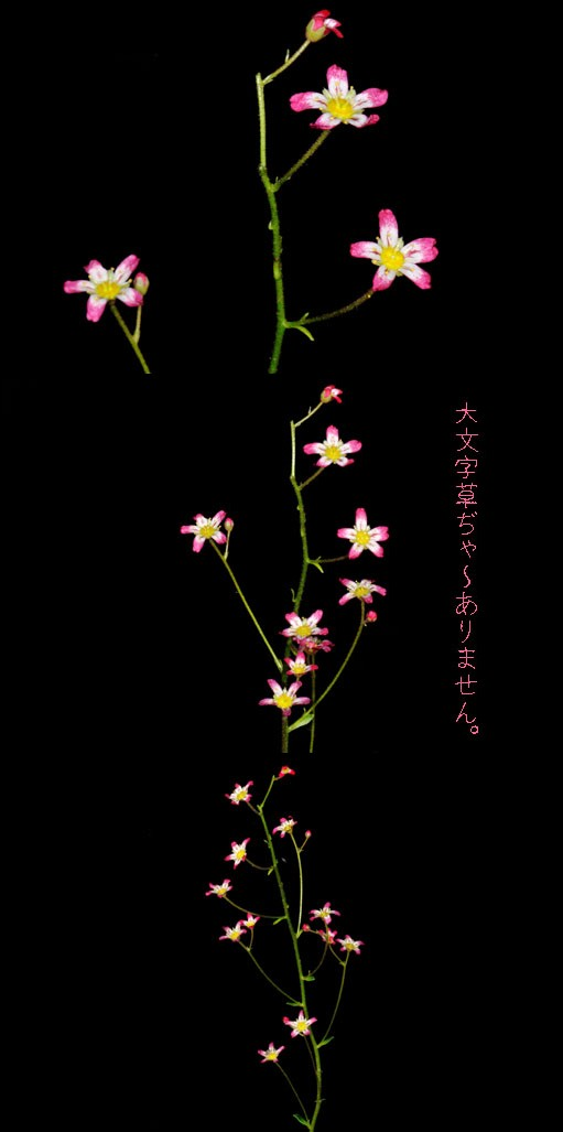 花茎は一本のみです。