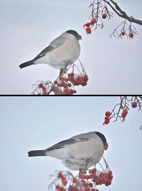 コッチはお腹の羽根に色が付いてるって言えるかどーかが微妙です。
