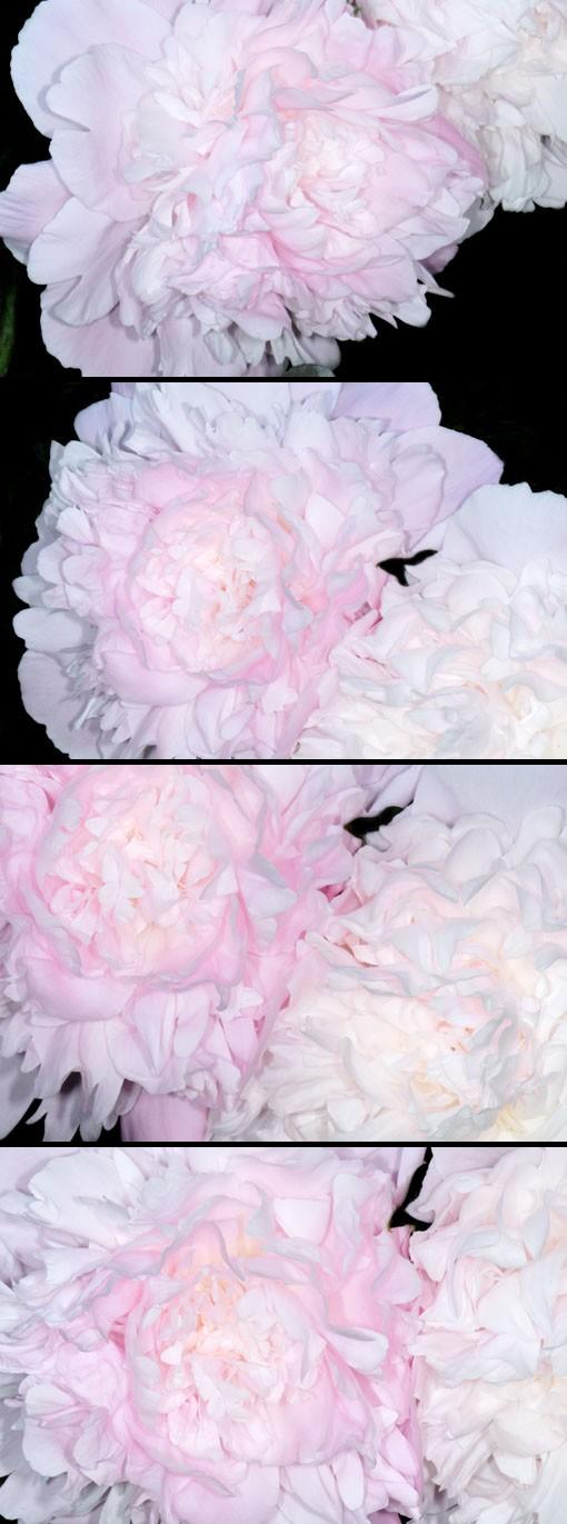 透き通るよーなピンクです。
