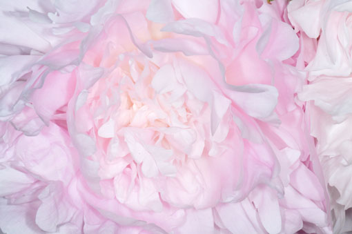 人工光メインだとこーゆー花色に写ります。