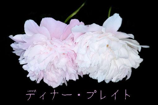Paeonia lactiflora ' Dinner Plate '