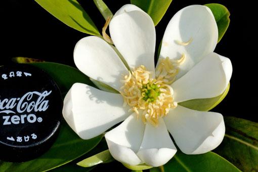 コブシの花よりは、ずっと小さいです。