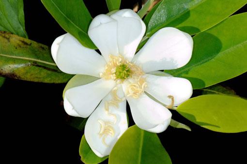 Magnolia virginiana ' Henry Hicks '