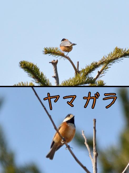 ヤマガラ(山雀)