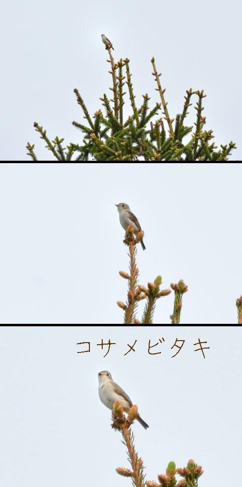 コサメビタキ(小鮫鶲)