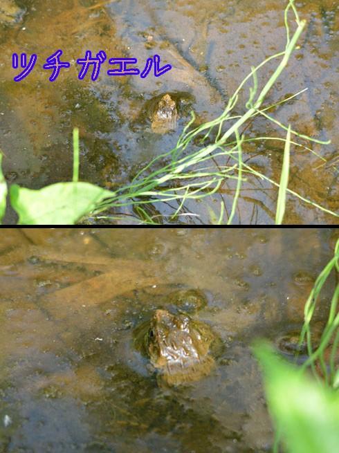 ツチガエル(土蛙)