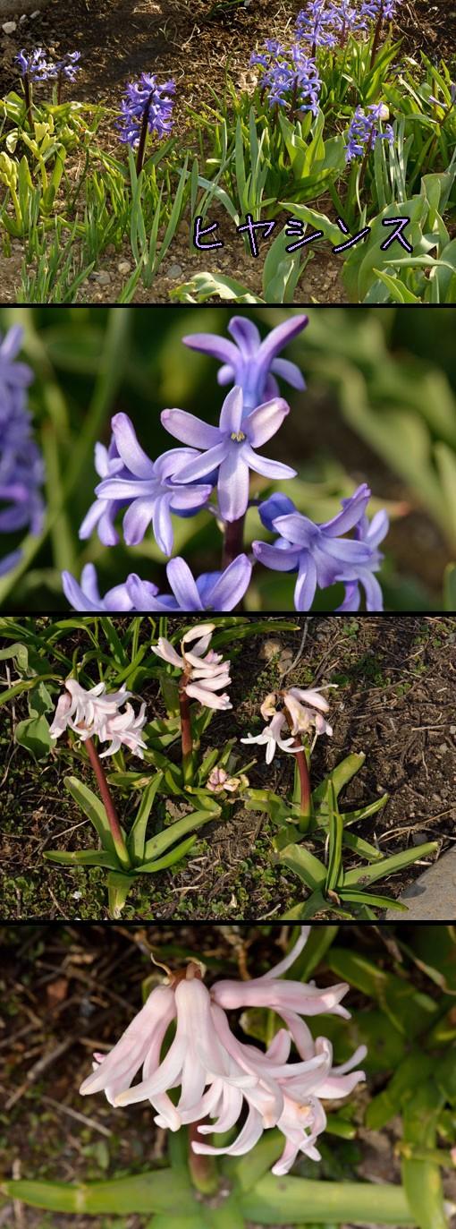 ヒヤシンス(ユリ科 Hyacinthus)