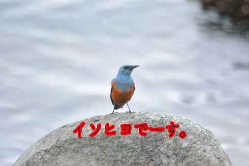 イソヒヨドリ(磯鵯)