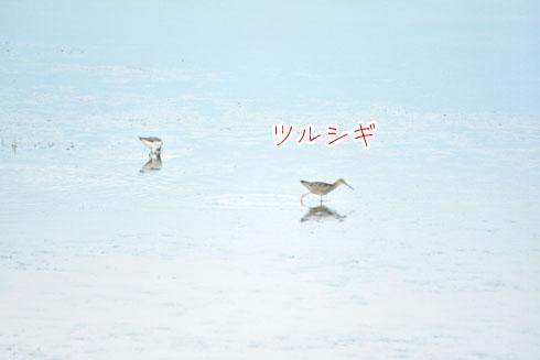 ツルシギ(鶴鷸)