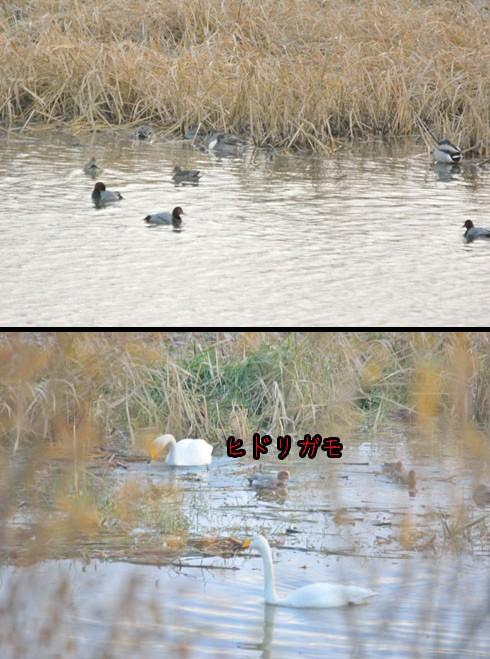 水鳥たくさん。