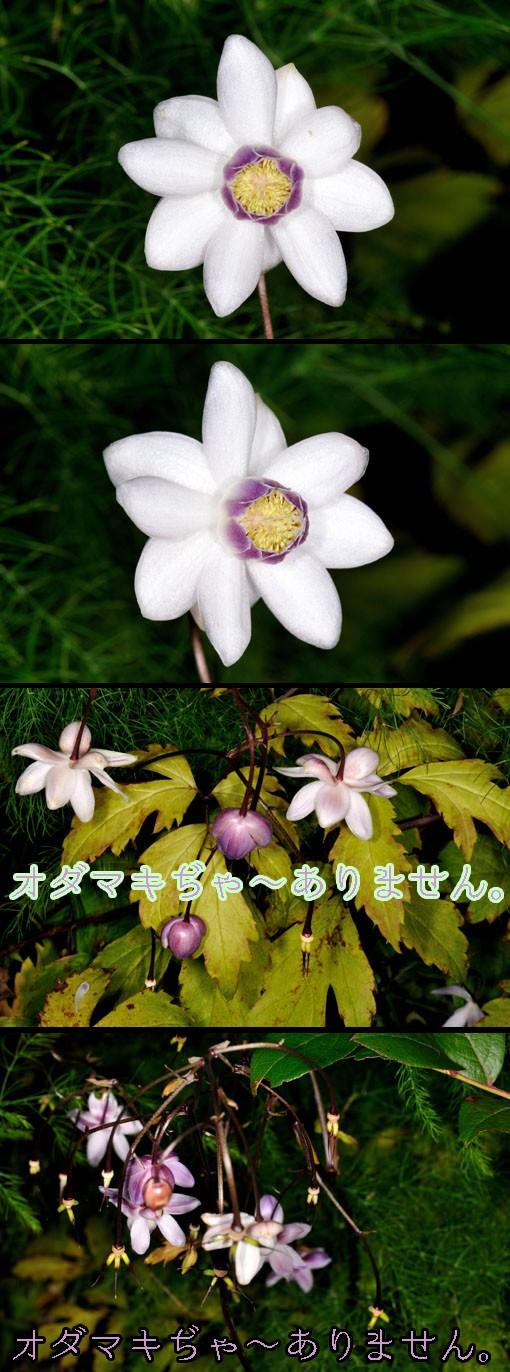 レンゲショウマ(キンポウゲ科 Anemonopsis macrophylla )