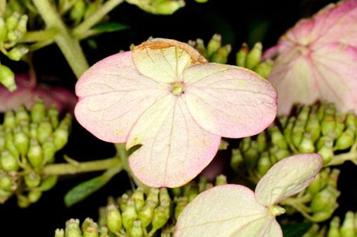 花弁の内外で濃淡が異なります。
