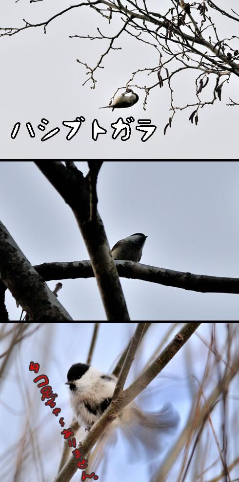 ハシブトガラ(嘴太雀)