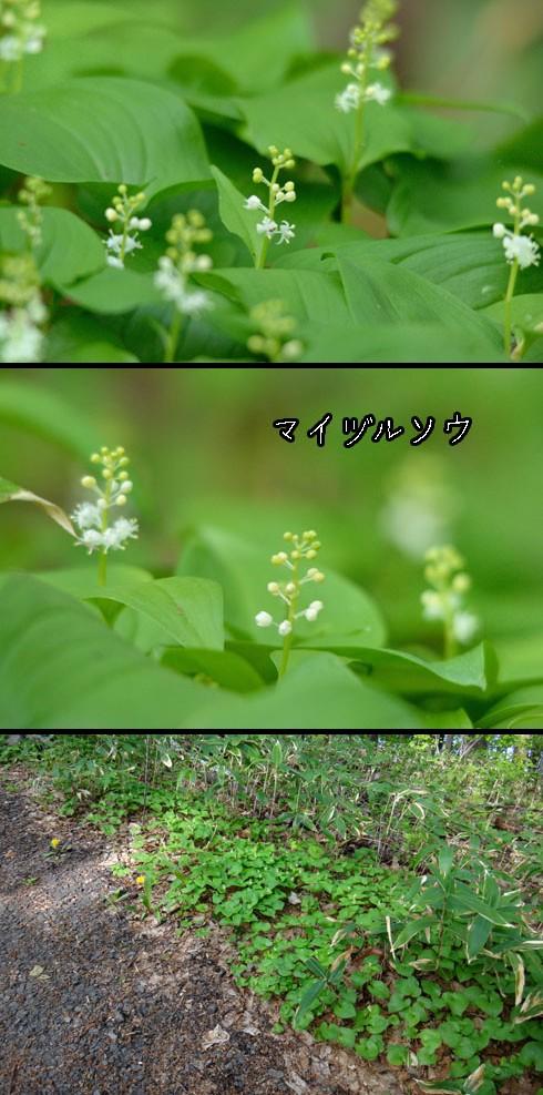 マイヅルソウ(舞鶴草)