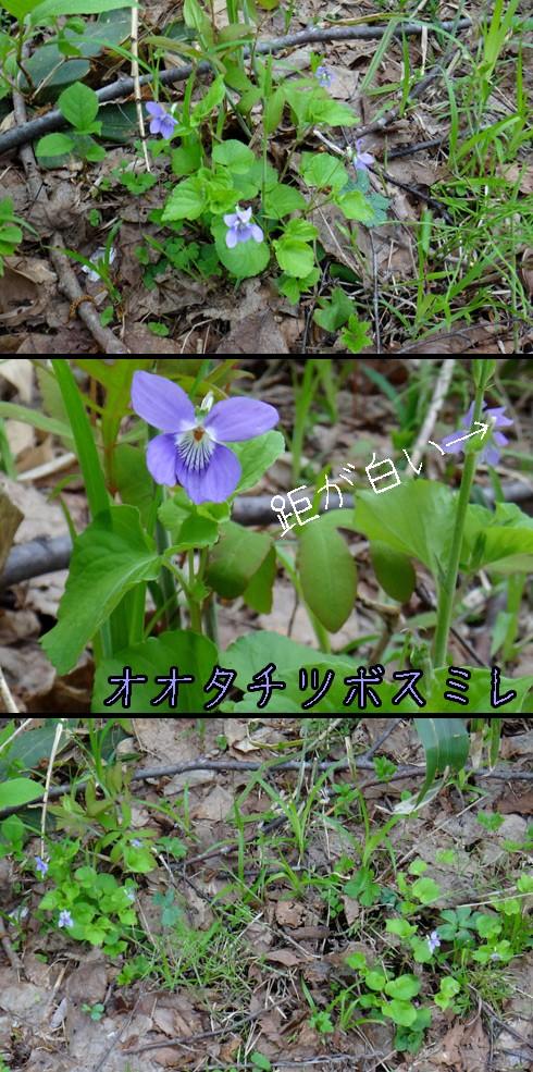 オオタチツボスミレ(大立坪菫)