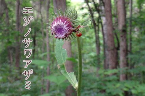 エゾノサワアザミ(蝦夷沢薊)
