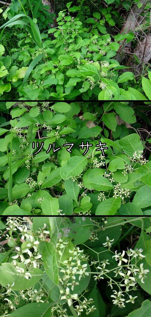ツルマサキ(蔓柾)