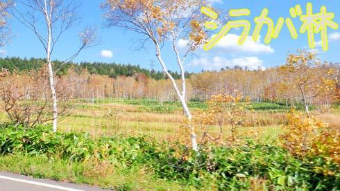 黄葉と白い樹肌の対比をお楽しみくらさい。