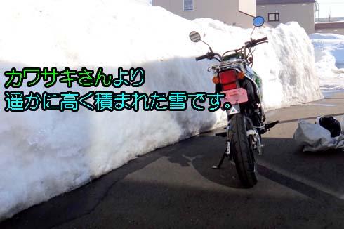 この雪の下でカレンヂュラは越冬したわけです。