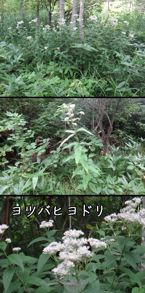 ヨツバヒヨドリ(四葉鵯)