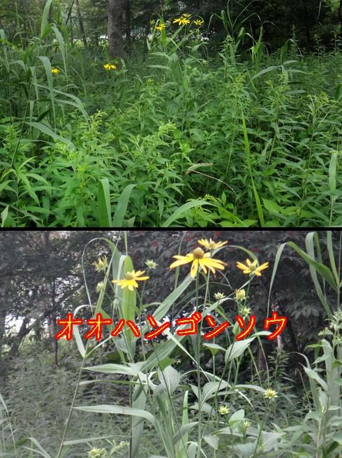 オオハンゴンソウ(大反魂草)