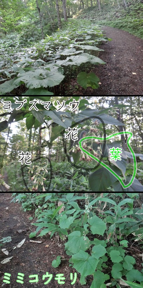 ヨブスマソウ(夜衾草)とミミコウモリ(耳蝙蝠)