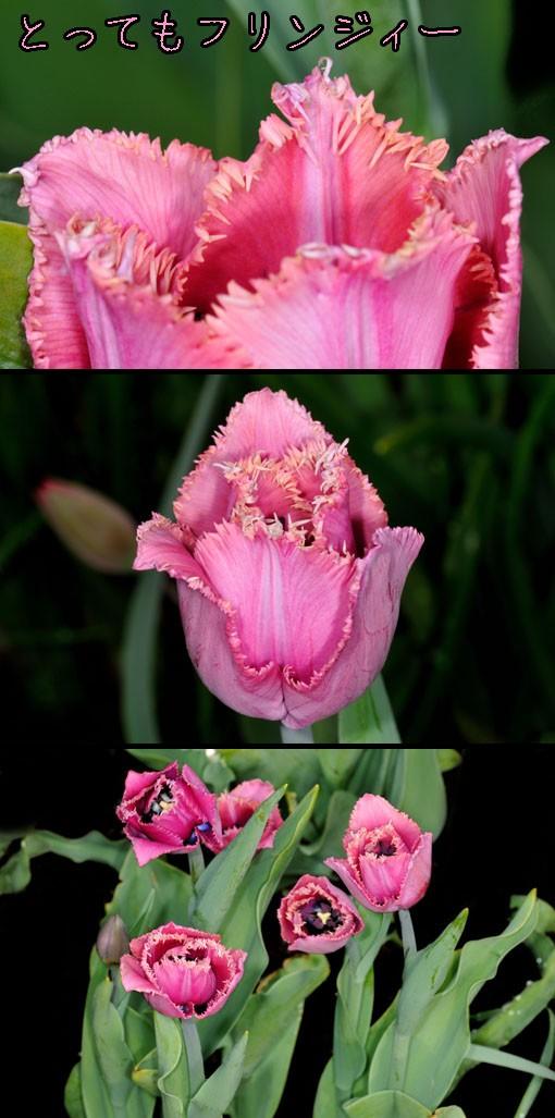 チューリップ ' ルーブル ' (Tulipa ' Louvre ')