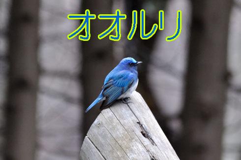オオルリ(大瑠璃)