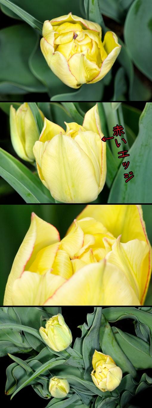 チューリップ ' アキュラ ' (Tulip ' Aquilla ')