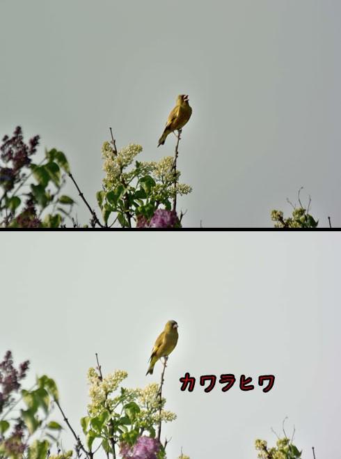 カワラヒワ(河原鶸)