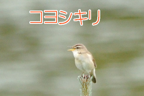 コヨシキリ(小葦切)