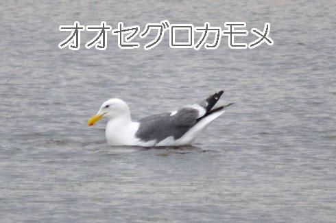 オオセグロカモメ(大背黒鴎)