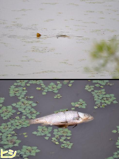 ヒシ(菱)よりも魚に注目です。