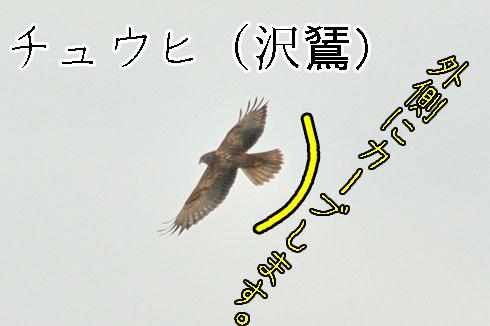 チュウヒ(沢鵟)