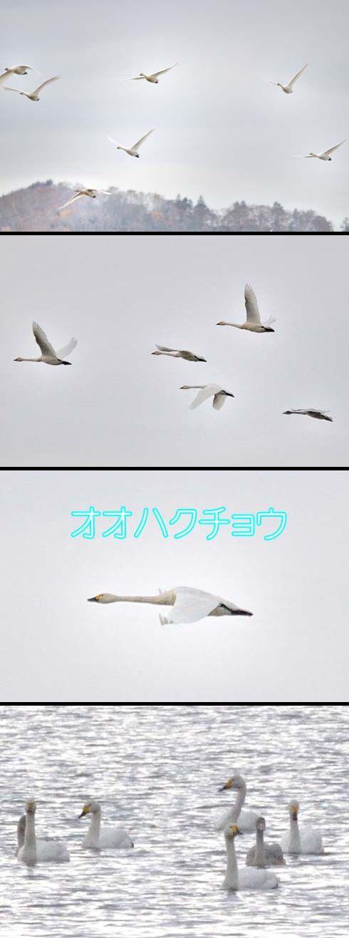 オオハクチョウ(大白鳥:カモ科)