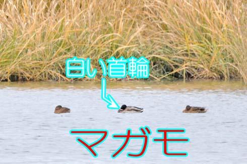 マガモ(真鴨:カモ科)