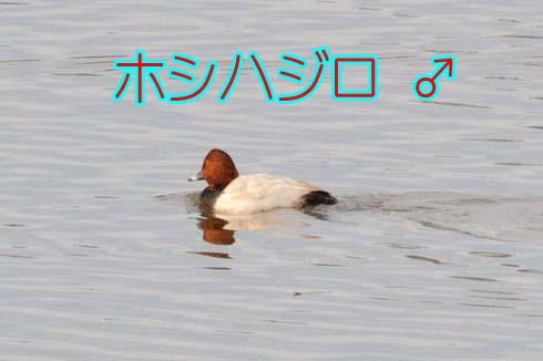 ホシハジロ♂