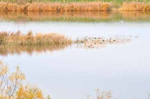 浅瀬に野鳥が群れてます。