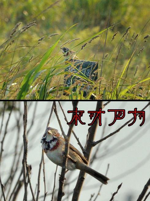 ホオアカ(頬赤)