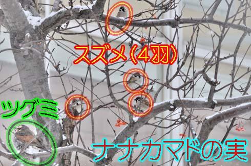 ナナカマドの木に群がってます。