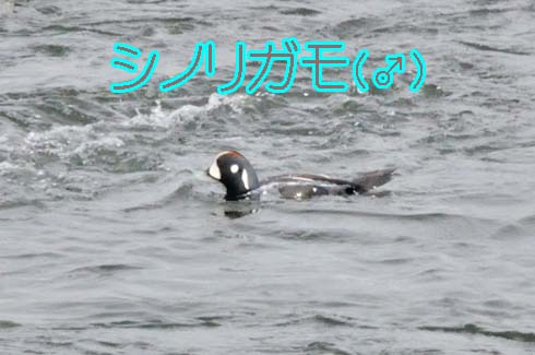 ハーレクイン・ダック(Harlequin Duck)