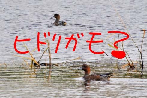 ヒドリガモ(?_?)