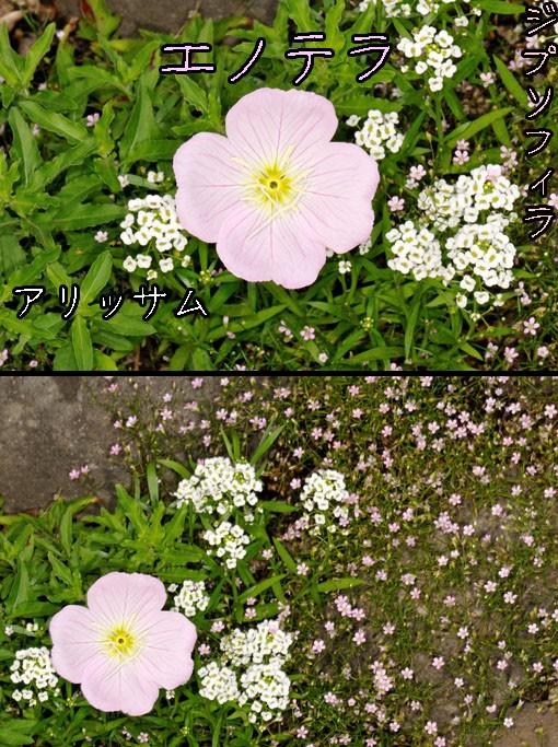 ツキミソウ(月見草)