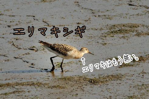 エリマキシギ(襟巻鷸)