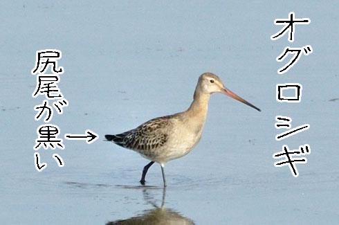 オグロシギ(尾黒鷸)