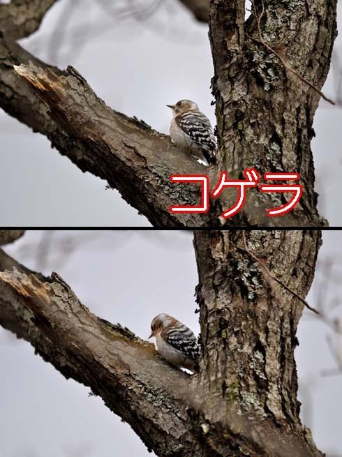 コゲラ(小啄木鳥)