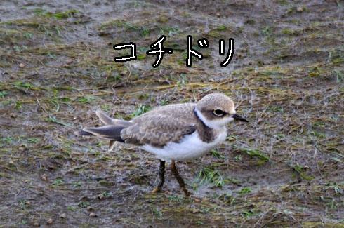 コチドリ(小千鳥)