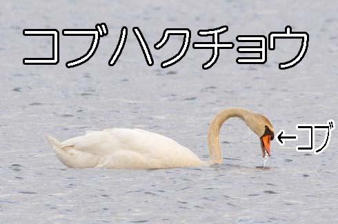 コブハクチョウ(瘤白鳥)