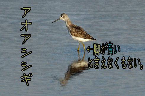 アオアシシギ(青足鷸)